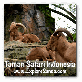 Mountain Goats at Safari Journey in Taman Safari Indonesia Cisarua, Puncak
