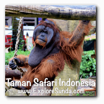 Orang utan in Taman Safari Indonesia Cisarua, Puncak