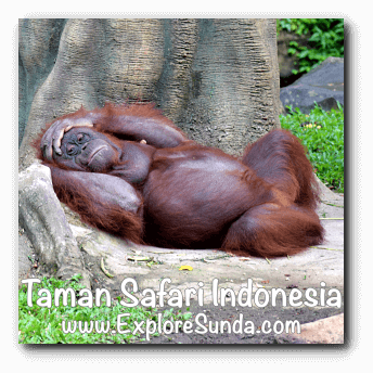 Orang utan in Taman Safari Indonesia Cisarua, Puncak