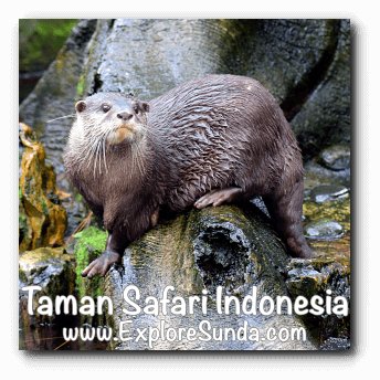Otter in Taman Safari Indonesia Cisarua, Puncak
