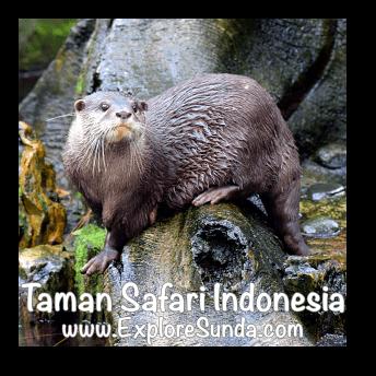 Otter in Taman Safari Indonesia Cisarua, Puncak