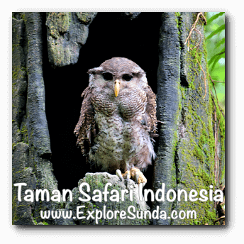An owl inside a hollow tree in Taman Safari Indonesia Cisarua, Puncak