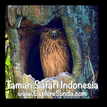 An owl inside a hollow tree in Taman Safari Indonesia Cisarua, Puncak