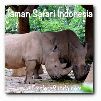 Rhinos at Taman Safari Indonesia Cisarua, Puncak