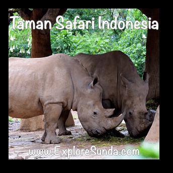Rhinos at Taman Safari Indonesia Cisarua, Puncak