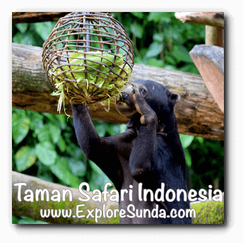 A sun bear having lunch at Taman Safari Indonesia Cisarua, Puncak