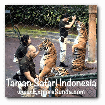 Drinking milk during Tiger Show in Taman Safari Indonesia Cisarua, Puncak