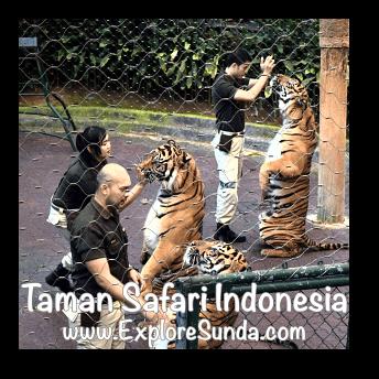 Drinking milk during Tiger Show in Taman Safari Indonesia Cisarua, Puncak