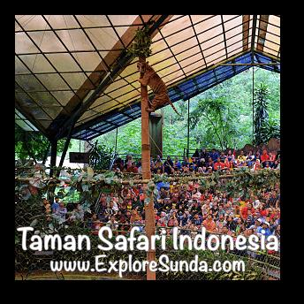 A tiger climbed a high pole during Tiger Show in Taman Safari Indonesia Cisarua, Puncak