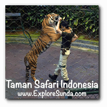 A tiger played with its keeper during Tiger Show in Taman Safari Indonesia Cisarua, Puncak