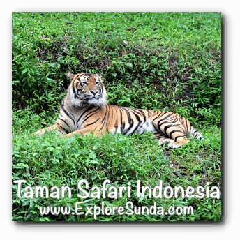 A sumatran tiger in Taman Safari Indonesia Cisarua, Puncak