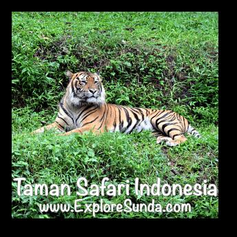 A sumatran tiger in Taman Safari Indonesia Cisarua, Puncak