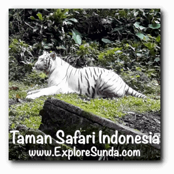A white tiger in Taman Safari Indonesia Cisarua, Puncak