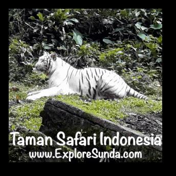 A white tiger in Taman Safari Indonesia Cisarua, Puncak