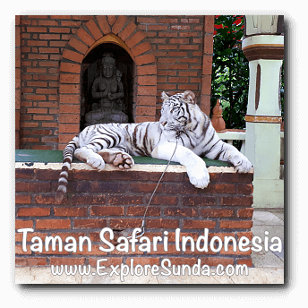 Photo booth with a white tiger in Taman Safari Indonesia Cisarua, Puncak