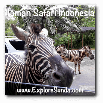 A zebra wants its share of carrots at Taman Safari Indonesia Cisarua, Puncak