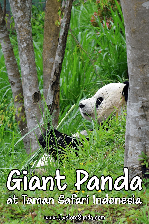 Visit Cai Tao and Hu Chun, the two giant pandas, and their friends, other wild animals from China, in Istana Panda [Panda Palace] at Taman Safari Indonesia Cisarua Bogor   #ExploreSunda #TamanSafari