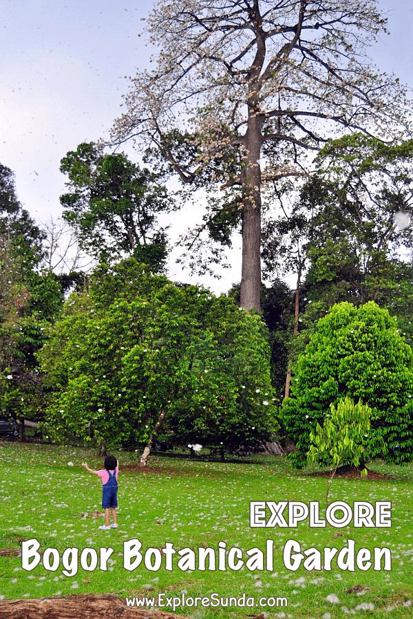 #Snow in #BogorBotanicalGarden when the Kapuk Randu [Ceiba pentandra] trees spread their seeds | #ExploreSunda.com