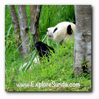 Cai Tao, the male giant panda at Taman Safari Indonesia Cisarua