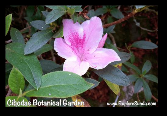 Rhododendron garden in Cibodas Botanical Garden, Puncak