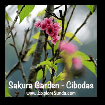 Sakura flower (cherry blossoms) in Sakura Garden - Cibodas Botanical Garden