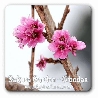 Sakura [cherry blossom] garden at Cibodas Botanical Garden, Puncak Pass.