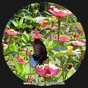 Cihanjuang Butterfly Garden, Lembang - Bandung.