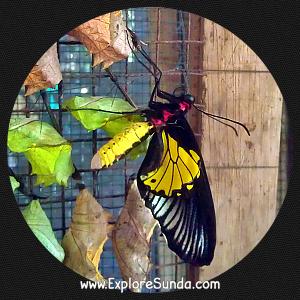 A butterfly just emerged from its chrysalis.  Cihanjuang Butterfly Garden, Lembang - Bandung.