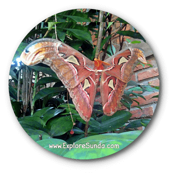 Attacus Atlas, the largest butterfly known to man, although it is actually a moth.