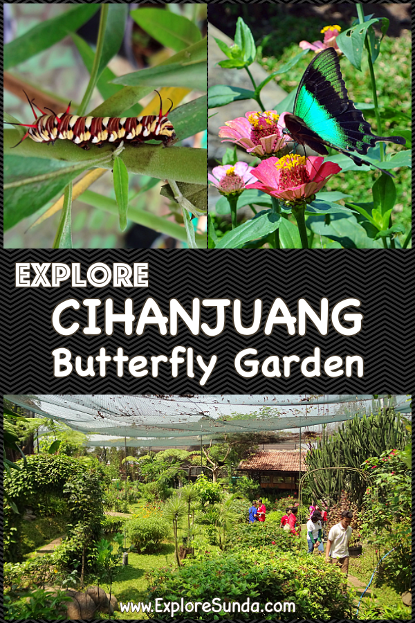 Things to do in Bandung: Explore Cihanjuang Butterfly Garden | See colorful butterflies fly freely in the garden | Touch cute caterfpillars | Learn the metamorphosis  of butterflies | #ExploreSunda