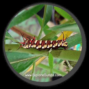 A caterpillar at Cihanjuang Butterfly Garden, Lembang - Bandung.