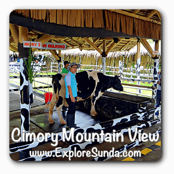 Learn to milk a cow at Cimory Mountain View Restaurant - Puncak