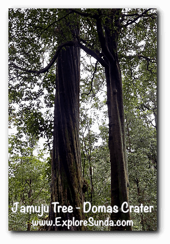 Jamuju Tree near Domas Crater, Tangkuban Perahu - Cikole, Lembang