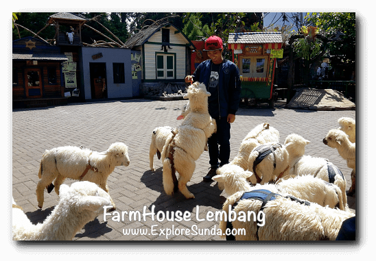 Feeding sheep in FarmHouse Lembang