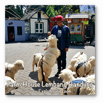 Parks and Gardens: Feeding a flock of sheep at Farm House Lembang, Bandung.