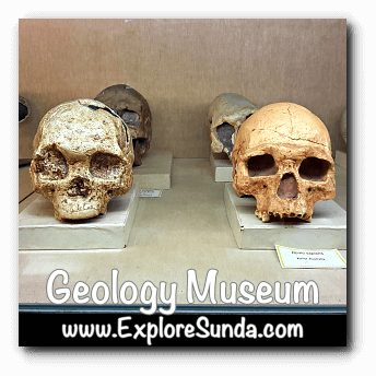 Skulls of Homo sapiens, displayed in Geology Museum, Bandung