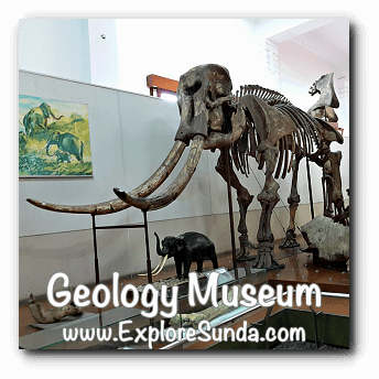 Stegodon trigonochepalus displayed in Geology Museum, Bandung