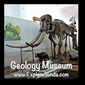 Stegodon trigonochepalus displayed in Geology Museum, Bandung
