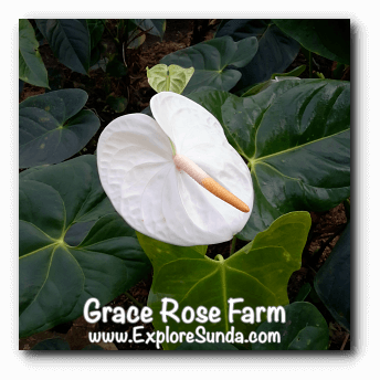 Anthurium at Grace Rose Farm in Cisarua, Lembang