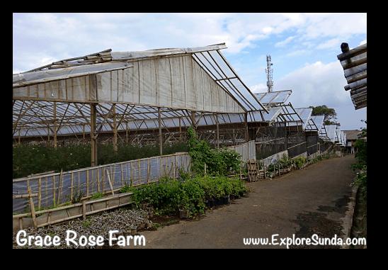 Greenhouses at Grace Rose Farm in Cisarua, Lembang
