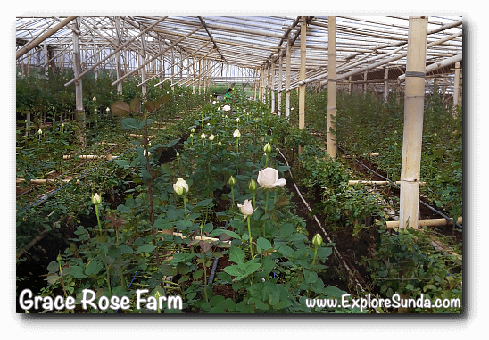 Roses ready to be harvested inside a greenhouse at Grace Rose Farm in Cisarua, Lembang