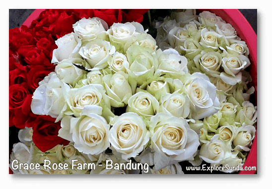 Parks and gardens in the land of Sunda: Grace Rose Farm, Bandung.