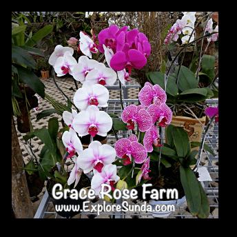 Phalaenopsis at Grace Rose Farm in Cisarua, Lembang