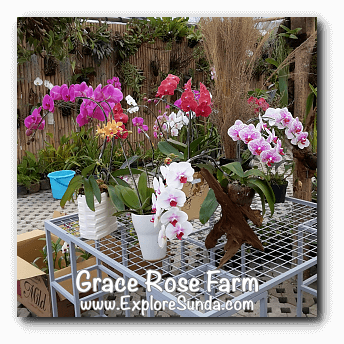 Orchids at Grace Rose Farm in Cisarua, Lembang
