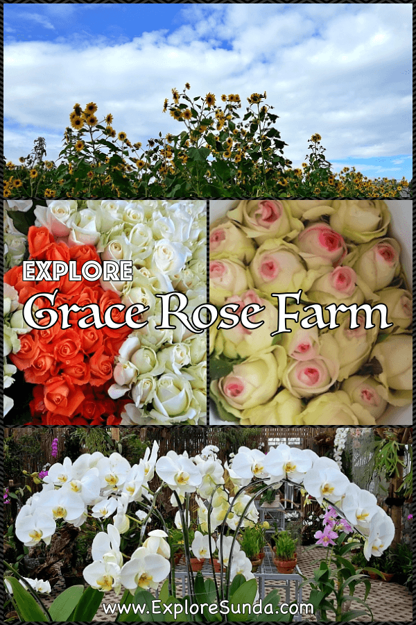 #GraceRoseFarm | The #RoseFarm in #Cisarua #Lembang #Bandung | Stroll in the garden, see them harvest and pack roses then buy plants to decorate your home | #ExploreSunda.com