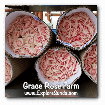 Roses ready to be delivered at Grace Rose Farm in Cisarua, Lembang