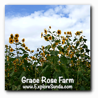Sunflowers at Grace Rose Farm in Cisarua, Lembang