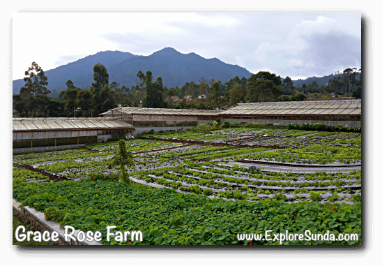 Vegetables patch at Grace Rose Farm in Cisarua, Lembang, with mount Burangrang as the backdrop