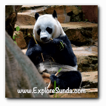 Hu Chun, the female giant panda at Taman Safari Indonesia Cisarua