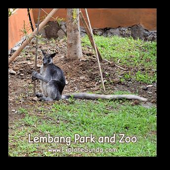 A Long Tailed Kangaroo at Lembang Park and Zoo